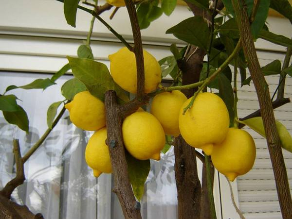 Как вырастить лимон в домашних условиях: ароматное деревце в качестве комнатной культуры
