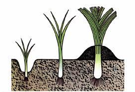 Лук порей выращивание. Как вырастить лук порей.